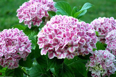 #hydrangea #macrophylla #peppermint